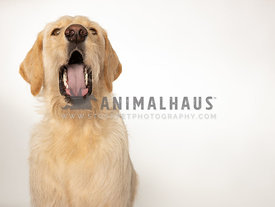 Yellow labrador dog with mouth open on white background