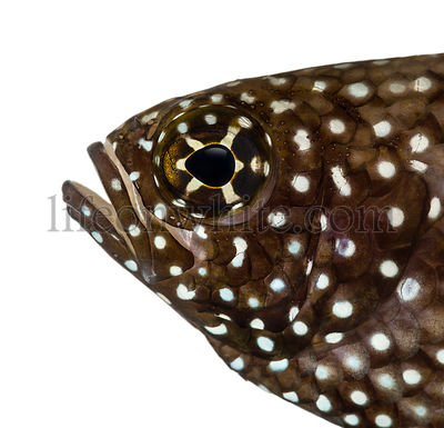 Close-up of a Comet\'s profile, mouth opened, Calloplesiops altivelis, isolated on white