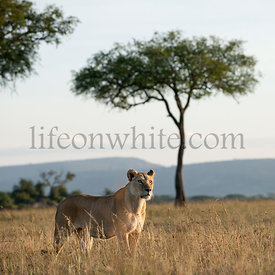 Lioness at the Serengeti National Park, Tanzania, Africa