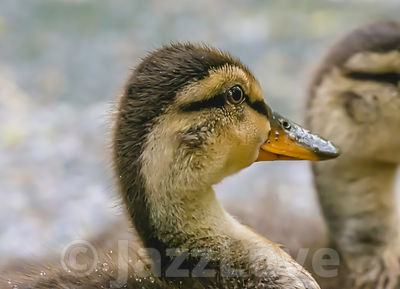 Close up portrait of cute duckling.