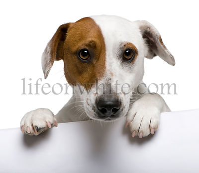 Close-up of Jack Russell Terrier, 1 year old, in front of white background