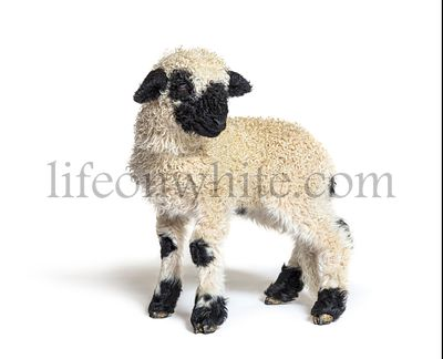 Profile of a lovely Lamb Valais Blacknose sheep three weeks old