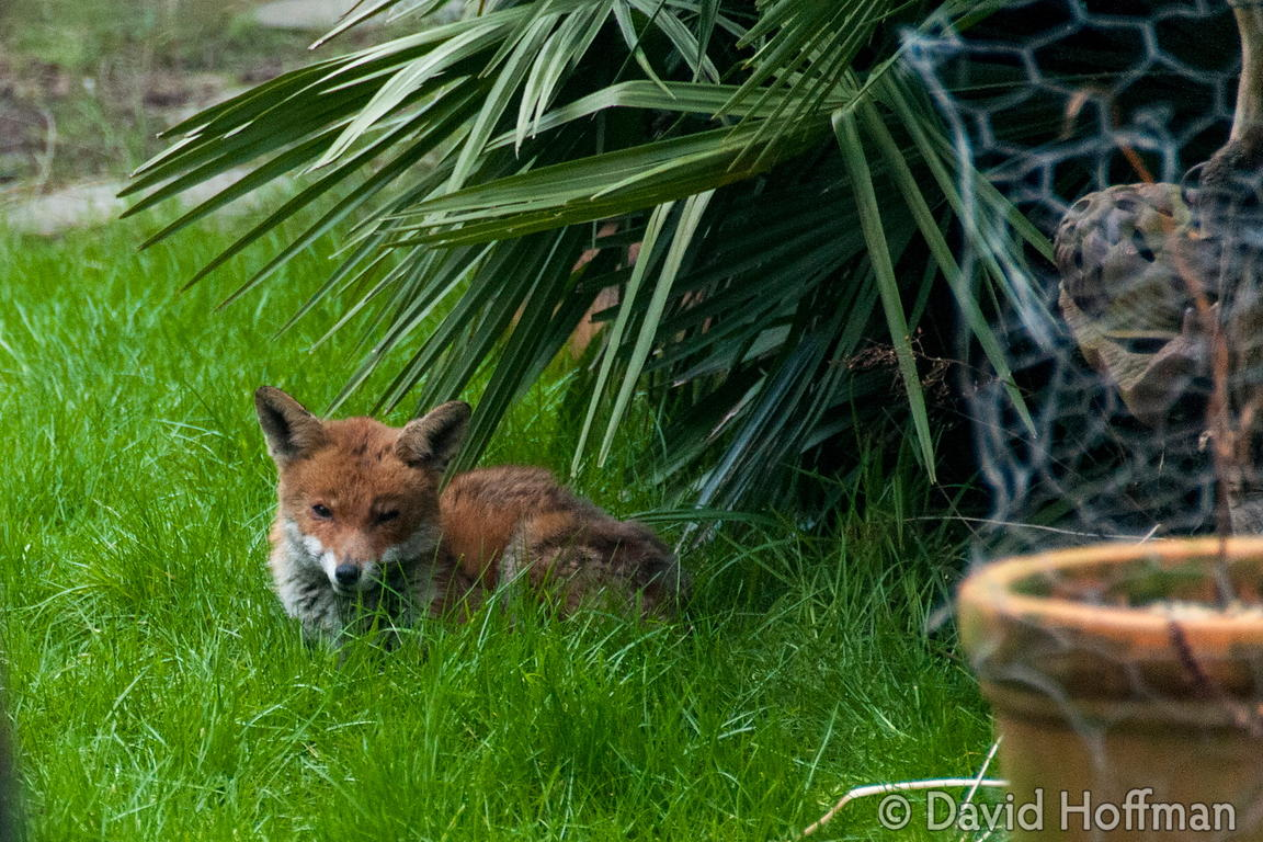 Fox relaxing in an East London inner city garden