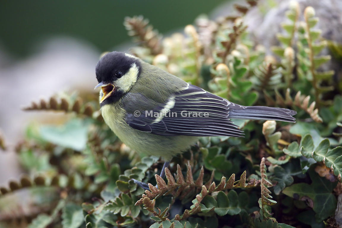 Juvenile Great Tit (Parus major) on Rusty-Back Fern (Asplenium ceterach) (Aspleniaceae), Lake District National Park, Cumbria...