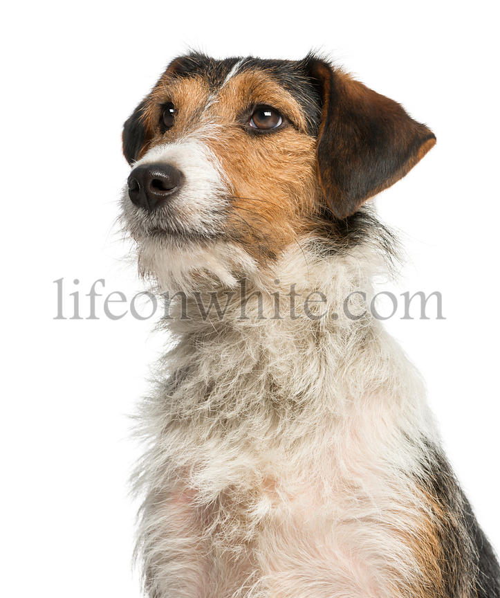 Close-up of a Fox Terrier looking up, 1 year old, isolated on white