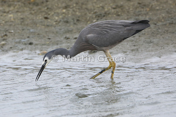 White-Faced Heron (Egretta novaehollandiae) fishing, Miranda, Firth of Thames, North Island, New Zealand