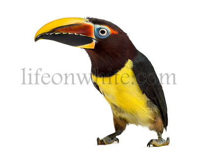 Green aracari isolated on white
