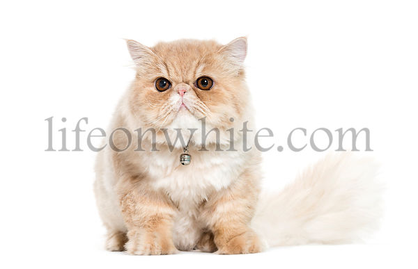 Persian cat sitting in front of white background