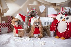 Christmas yorkshire terriers