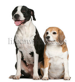 Argentine dogo and a beagle, sitting in front of white background