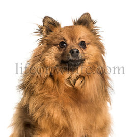Pomeranian against white background