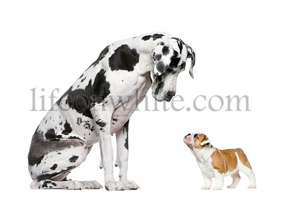 Great Dane looking at a French Bulldog puppy in front of a white background