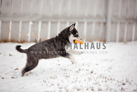 A young husky pup playing with a toy in the snow in the backyard