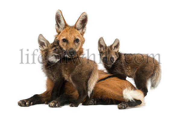 Maned wolf mom and cubs cuddling, looking at the camera, Chrysocyon brachyurus, isolated on white