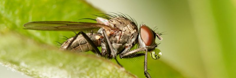 Image - Fly on leaf blowing a bubble, Diptera