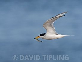 Little Tern, Sternula albifrons, North Norfolk May