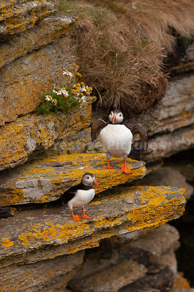 Two puffins on stony ledge