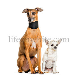 Italian Greyhound and a chihuahua sitting against white background
