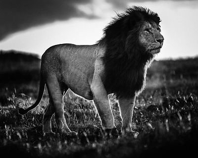 07200-Lion_against_sunset_light_Kenya_2019_Laurent_Baheux
