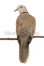 Rear view of an Eurasian Collared Dove perched on branch, Streptopelia decaocto, often called the Collared Dove against white...