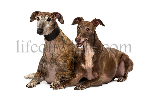 Spanish galgos lying on the floor, isolated on white