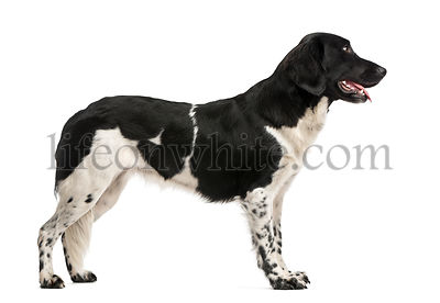 Side view of a Stabyhoun standing, panting, isolated on white