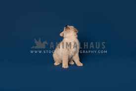 golden retriever puppy sitting and looking up on dark blue backdrop