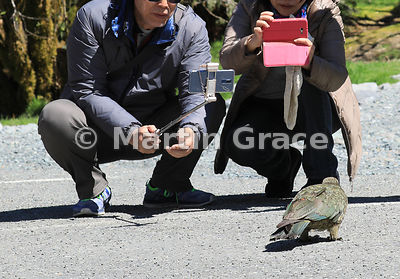 A Kea (Nestor notabilis) attracts the attention of  tourists and their camera-phones, Te Anau-Milford Highway, Fiordland Nati...