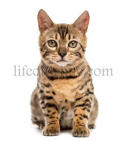 Bengal sitting in front of a white background