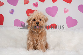 smiling, small, tan doodle sitting in front of backdrop with hearts