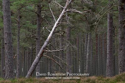 Prints & Stock Image - SLeaning tree trunk in forest near Nethy Bridge, Badenoch and Strathspey, Highland, Scotland.