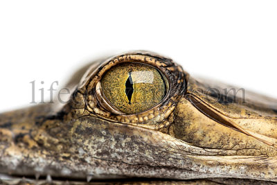 Close-up on a eye of a Fish-eating crocodile, Gavial, Gavialis gangeticus, isolated on white