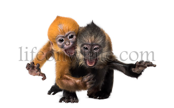 Two baby Francois Langur running