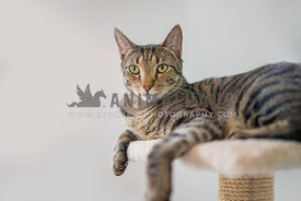 Tabby cat on a cat tree looking away from the camera on a white background