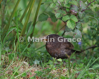 Common Blackbird (Turdus merula) skulking in the undergrowth, Lake District National Park, Cumbria, England