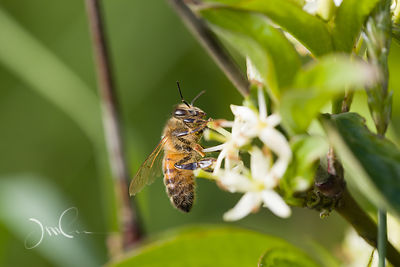 Abeille sur fleur de Cornouiller sanguin.Bee on Dogwood Flower