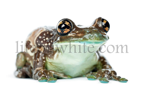Amazon Milk Frog, Trachycephalus resinifictrix, portrait against white background