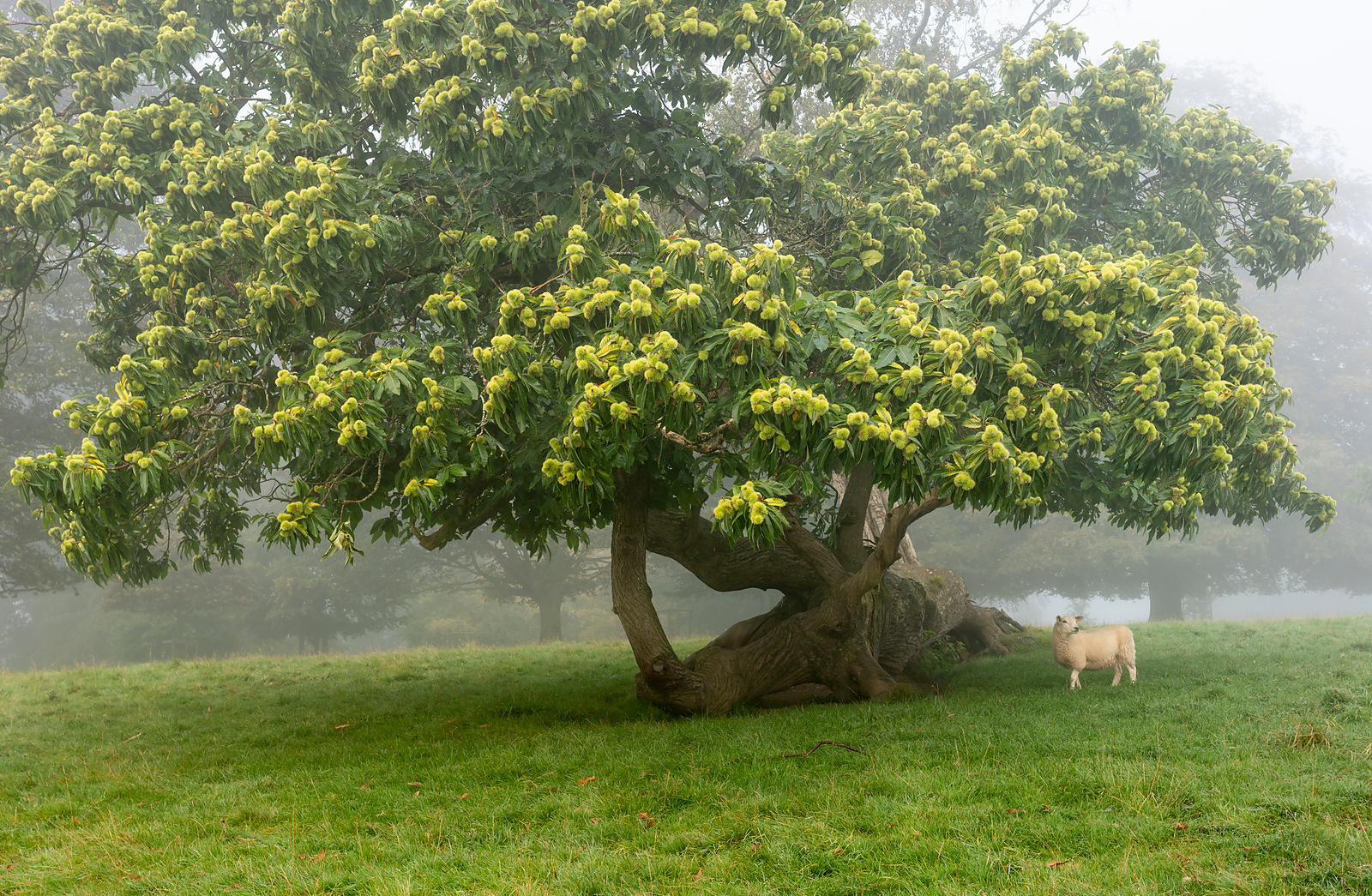 Lamb and sweet chestnut tree in Chatsworth Park