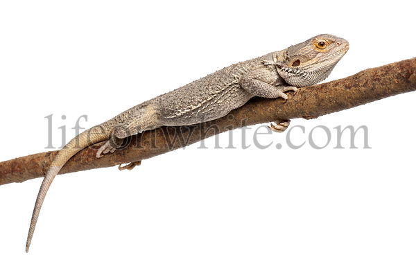 Pogona lying on a branch in front of white background