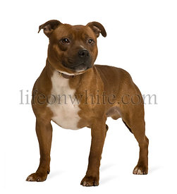 Staffordshire Bull Terrier, 19 months old, standing in front of white background