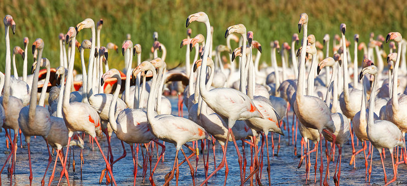 Group of flamingos in a Camargue pond.