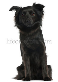 Schipperke, 3 years old, sitting in front of white background