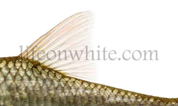 Side view of a Common roach\' dorsal fin, Rutilus rutilus, isolated on white