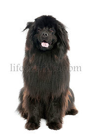 Newfoundland (1 year old)
