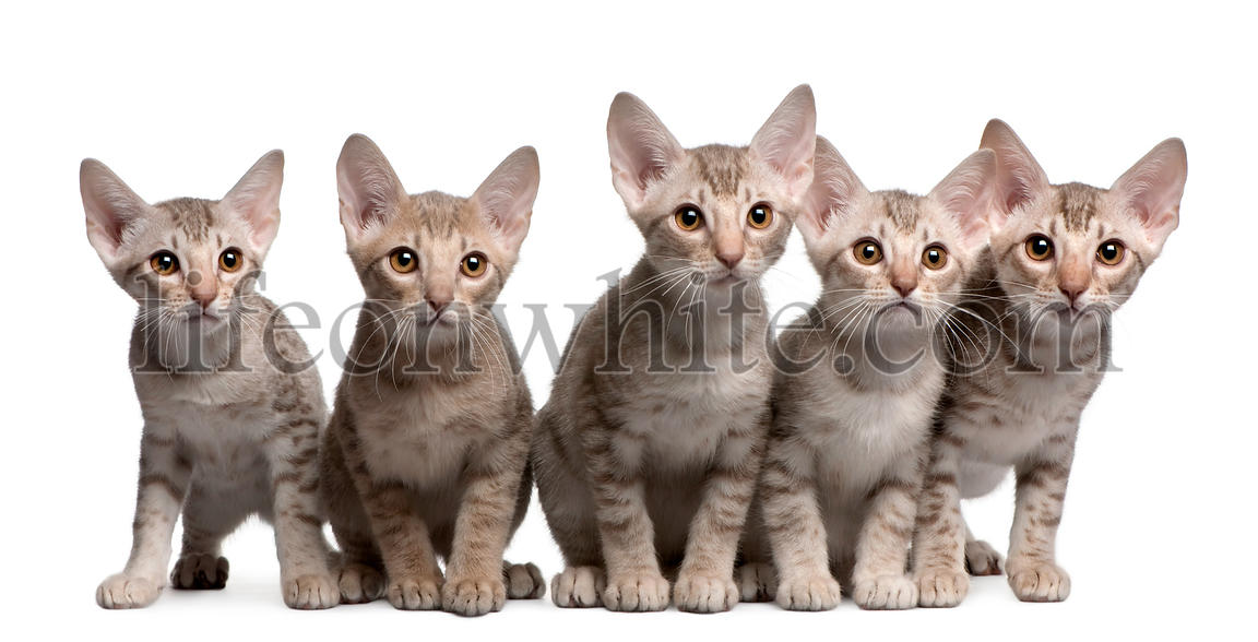 Ocicat kittens, 13 weeks old, sitting in front of white background