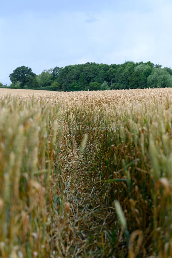 Crops near harvest time in the Shropshire countryside.