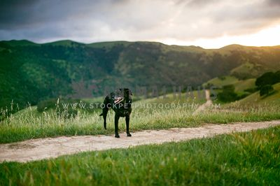 An older black lab standing on the trail at sunset