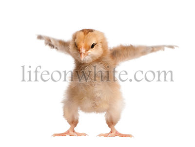Araucana Chicken, 8 days old, in front of a white background, studio shot