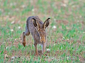 Brown Hare Lepus europaeus North Norfolk early spring