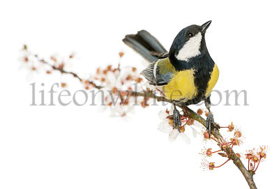 Male great tit perched on a flowering branch, looking up, Parus major, isolated on white